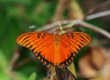 Gulf Fritillary 008