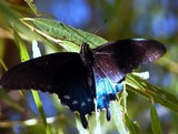 Pipevine Swallowtail, Battus philenor