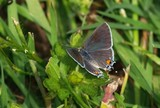 Gray Hairstreak Butterfly 140