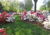 Azaleas in Smyrna