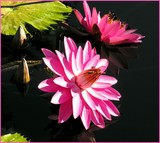 Friday Waterlilies