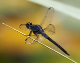 Slaty Skimmer, TWU