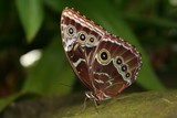 Common Blue Morpho with Folded Wings