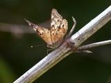 Hackberry Emperor, WRL