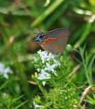 Red Banded Hairstreak