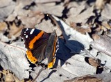 Red Admiral Butterfly 009