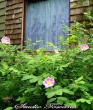 COTTAGE ROSES -ROSA RUGOSA