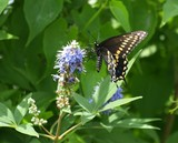 Swallowtail on Vitex