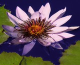A Pretty Waterlily
