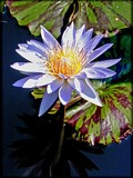 Monday Waterlily 3