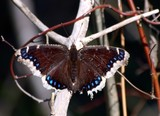 Mourning Cloak - SpgCk