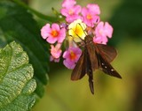 Clouded Skipper 145