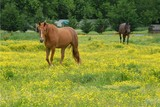 Buttercup Pasture