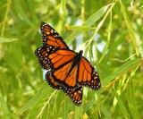 Monarchs on Willow
