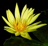 A Golden Waterlily