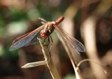 Male Variegated Meadowhawk 061