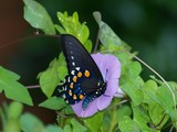 Pipevine Swallowtail 011