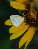 Little Yellow Butterfly 020