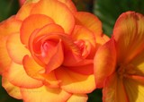 Roses in Orange-Yellow