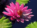 Rose Waterlily