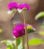 Gray Hairstreak on Amaranth