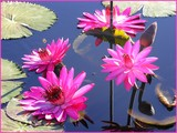 Monday Waterlilies