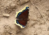 Mourning Cloak Mudding