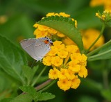 Hairstreak on Lantana