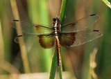 Widow Skimmer Female 022