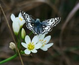 Common Checkered Skipper - SpgCk