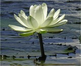Tuesday Waterlily