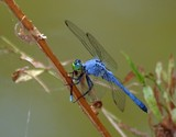 E. Pondhawk Eats Damselfly