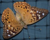 Hackberry Emperor Visit