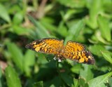 Pearl Crescent 004