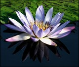 Violet Waterlily