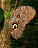 Owl Butterfly in the Rain Forest