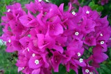 Beautiful Bougainvilla 