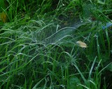 Grass web and spider