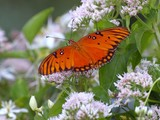 Gulf Fritillary 31