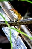 Anole 1