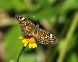 Phaon Crescent Butterfly 070