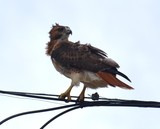 Windblown Hawk