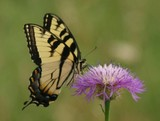 E. Tiger Swallowtail 084
