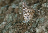 Hackberry Emperor, ventral view
