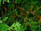 Dewy spider web