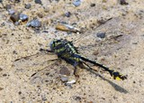 Plains Clubtail 4-30-11