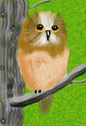 Northern Saw-wet Owl O727