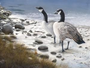 Edgewater Geese