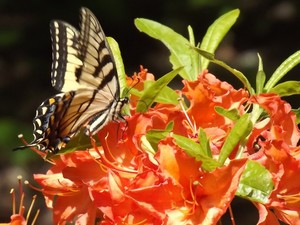 Tiger Swallowtail II