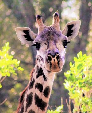 Giraffe Diva